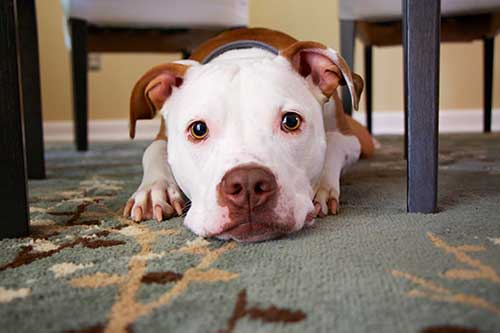 How to Remove 99% of Pet Urine Odor & Bacteria from Carpet