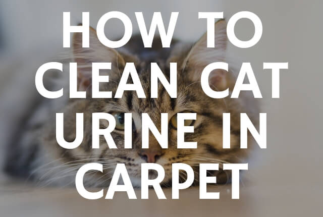 How to Clean Cat Urine in Carpet